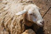 Заболевания сердца у овец